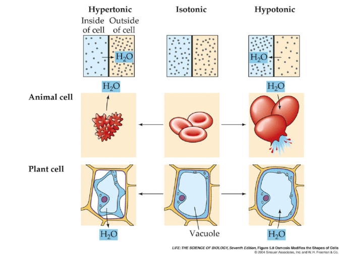 Active & Passive Transport Across Cell Membranes Active ...  Example Of Passive Transport